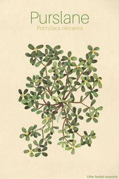 Herbal Medicine Purslane Portulaca oleracea - Information on the traditional uses, dosages, active ingredients, health benefits and side effects of the medicinal herb purslane (Portulaca oleracea) Herbs For Health, Healthy Herbs, Herbal Plants, Medicinal Plants, Natural Medicine, Herbal Medicine, Medicine Book, Purslane Recipe, Portulaca Oleracea