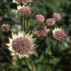 Astrantia Major, Border Plants, Green Grass, Dandelion, Exterior, Flowers, Gardening, Mary, Dandelions
