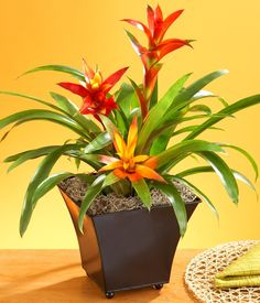 mosquito plants This artificial bromeliad's bold blooms with lifelike petals are sheathed in realistic green leaves. Made with care, these tropical flowers appear to actually be growin Perfect Plants, Cool Plants, Tropical Flowers, Tropical Plants, Plantas Indoor, Growing Plants Indoors, Garden Web, Garden Design, Mosquito Repelling Plants