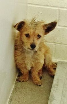 Sweet CHICKALEEN is adorable but so scared in the kennel. Please take a look at her Video and SHARE, he needs some help. Thanks! #A4789083 My name is Chikaleen and I'm an approximately 4 year old male chihuahua sh. I am not yet neutered. https://www.facebook.com/171850219654287/photos/pb.171850219654287.-2207520000.1420585930./356210391218268/?type=3&theater