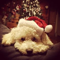 Toy poodle Christmas time :)