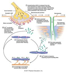 Mechanism of muscle contraction from synapse to myofilaments - though missing neuron action potential triggering intake of calcium in the presynaptic membrane, triggering release of Acetylcholine into the synaptic cleft (eg - transfer of electrical energy to chemical energy).