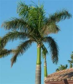 Royal Palm Tree...my favorite palm, but verrrry expensive to buy!