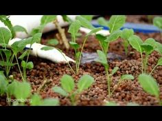 Aquaponics: The Answer to California's Drought?