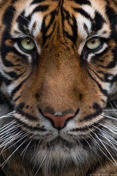 Sumatran Tiger #01 by vetchyKocour.deviantart.com on @deviantART