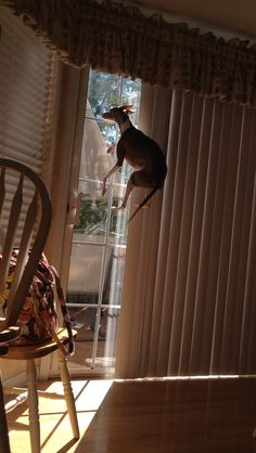 My flying dog... This is how high he jumps every time he has to go outside