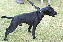 Patterdale Terrier - Wikipedia
