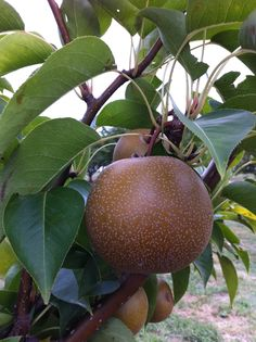 Asian Pear I LOVE THESE!! Omg this is fab by it self in salad umm so crisp n juicy