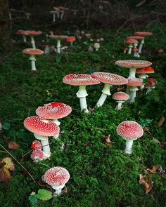 Fly agaric (Fliegenpilz, Amanita muscaria) on Behance Poisonous Plants, Medicinal Plants, Goblin, Mushroom Fungi, Nature Aesthetic, Forest Fairy, Faeries, Wall Collage, Aesthetic Pictures