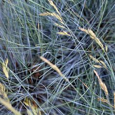 Idaho fescue is the perfect grass for adding cool color to your landscape. While not as famous as its common cousin (blue fescue) the Idaho type has larger, longer leaf blades, giving it a more graceful effect. For the best color, look for a new selection named 'Siskiyou Blue'. Name: Festuca idahoensis Growing Conditions: Full sun and well-drained soil Size:To 18 inches tall Zones: 5-9