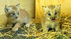 Mind-Blowingly Adorable Lynx Kitten Has the Face of a Tiny, Ferocious Angel