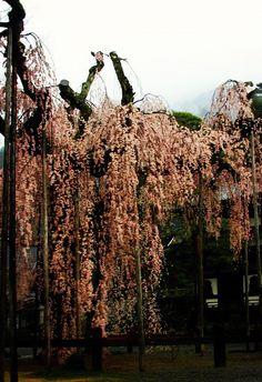 久遠寺 仏殿前のしだれ桜