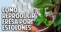 Cosas del Jardin: Plantas de fresa a partir de estolones y un huerto vertical soñado