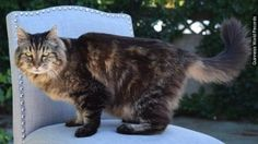 Corduroy: World's Oldest Living Cat   http://www.examiner.com/article/corduroy-the-cat-is-the-world-s-oldest-cat