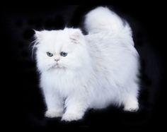 Isaac-white-chinchilla-silver-teacup-persian-cat-2 #PersianCat