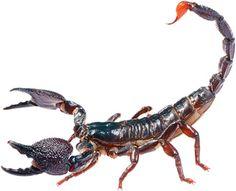 escorpiões - Pesquisa Google
