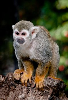 Common squirrel monkey / Saimiri sciureus (by stoplamek)