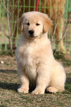 Clear-sighted calculated obedience training doggies check out here Puppies And Kitties, Cute Puppies, Cute Dogs, Doggies, Chien Golden Retriever, Golden Retrievers, Animals And Pets, Cute Animals, Baby Animals