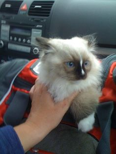 Ragdoll Names: Help Finding the Perfect Kitten's Name http://www.floppycats.com/ragdoll-names.html