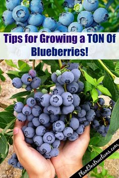 As most blueberry bushes can grow very large, the best option for a patio or other urban garden is to plant a dwarf variety. Blueberry bushes begin producing after about three years, so you'll have… Home Vegetable Garden, Fruit Garden, Edible Garden, Easy Garden, Harvest Garden, Herbs Garden, Veggie Gardens, Indoor Vegetable Gardening, Raised Vegetable Gardens