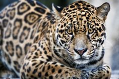 Gorgeous jaguar... by Seb-Photos.deviantart.com on @deviantART