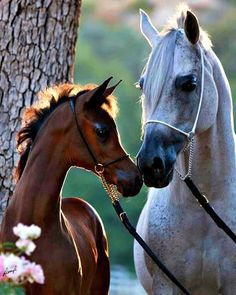 Arabian foal and mare.