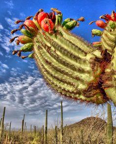 Saguaro Cactus in Bloom | Saguaro National Park | Tucson | Arizona | Photo via IG @bella_nugent