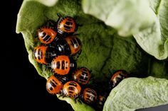 arthropodes en macrophotographie Murgantia histrionica nymphe   Arthropodes en macrophotographie   veuve noire punaise photo mouche macro in...