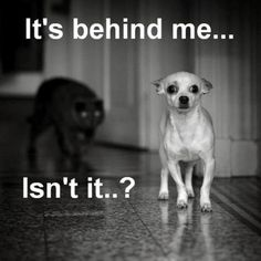 True story: I have a chihuahua identical to this one.  I also have a black cat.  This scenario plays itself out multiple times a day at my house.