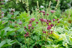 Find out how to grow shade-loving astrantias (Hattie's pincushion, or masterwort) with advice from BBC Gardeners' World Magazine and gardenersworld.com.