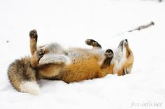 Fox in the snow Fantastic Fox, Fabulous Fox, Animals And Pets, Baby Animals, Cute Animals, Wild Animals, Most Beautiful Animals, Beautiful Creatures, Fox In Snow
