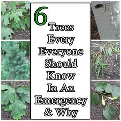 6 Trees Every Everyone Should Know In An Emergency and Why Homesteading  - The Homestead Survival .Com