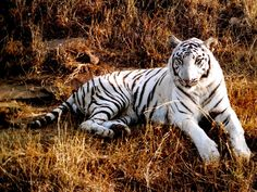 tigers   Tiger Wallpaper - Tigers Wallpaper (9981539) - Fanpop fanclubs