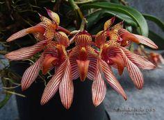 Bulbophyllum bicolor Lindl., Gen. Sp. Orchid. Pl.: 49 (1830). The cultivar pictured is Bulbophyllum bicolor 'D & B' CHM/AOS.