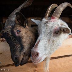 goats Goats, Animals, Animales, Animaux, Animal, Animais, Goat