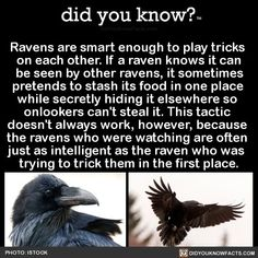 Ravens are smart enough to play tricks on each other. If a raven knows it can be seen by other ravens, it sometimes pretends to stash its food in one place while secretly hiding it elsewhere so onlookers can't steal it. This tactic doesn't always. Crow Facts, Bird Facts, Raven Facts, Animal Spirit Guides, Spirit Animal, Wtf Fun Facts, Funny Facts, Animals Beautiful, Cute Animals