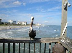 Cocoa Beach Florida - Check one for the bucket list!  The Pelicans were all over the pier and were monitoring carefully for any fish that were dropped for a quick snack!