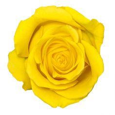 Beautiful yellow rose...