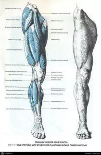 Human Anatomy For Artists, Human Anatomy Drawing, Human Figure Drawing, Life Drawing, Leg Anatomy, Anatomy Poses, Anatomy Study, Anatomy Reference, Human Muscle Anatomy