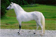 Shetland Pony. Photo by Alicia Slocumb  American Shetland, modern type