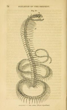 Skeleton of the cobra