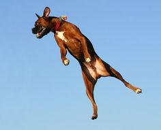 Boxer in flight. Dogs jumping leaping