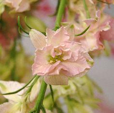 Larkspur Light Pink
