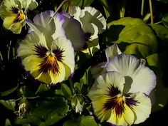 Pretty Pansies Blooming in the Garden