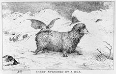 Kea on a sheep