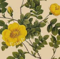 Yellow Rose of Texas 1954 Pierre Redoute Botanical Lithographs