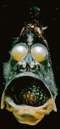 Hatchet Fish:The deep sea hatchetfish (Sternoptychidae) Approx 45 individual species of hatche. Weird Sea Creatures, Ocean Creatures, Underwater Sea, Underwater Creatures, Deep Sea Animals, Animal Original, Fauna Marina, Deep Sea Fishing, Water Life