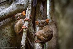 Togetherness is a constant: when a predator is nearby, tarsiers gather around to take it on.   Philippine Tarsiers Are The Most Magical Creatures On Earth
