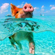 Swimming piglet!!!