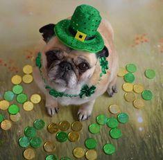 Saint Patrick's Day Dog day photoshoot dog Ten of the Very Best Saint Patrick's Day Irish Dog Names Dog Photos, Dog Pictures, Animal Pictures, Dog Calendar, Buzzfeed Animals, Cute Pugs, Pug Love, Dog Names, Training Your Dog
